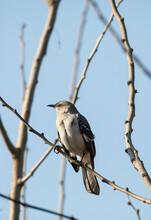 Mockingbird Closeup In Trees