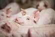 canvas print picture - Pigs on a farm. A close up of an animal