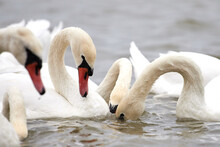 Wild Swans And Geese On The La...