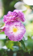 Yellow Pistils Inside Fuchsia Rose In Bloom