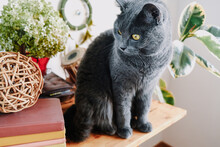 Carthusian Domestic Cat Sitting On Table In Cozy Home Interior.