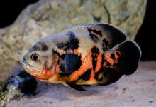 Oscar Cichlid Fish