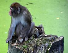 Japanese Macaque Macaca Fuscat...