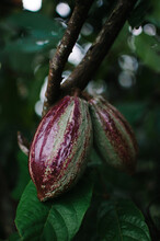 Two Cocoa Fruits Growing On The Tree