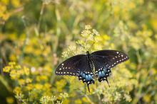 Black Swallowtail Butterfly (Papilio Polyxenes) On Flowering Dill Plant Wings Open In The Garden