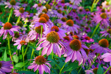 Purple And Yellow Echinacea Cone Flowers