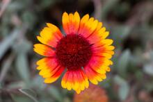 Indian Blanket Wild Flower Close Up