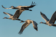 Sandhill Cranes (Grus Canadens...