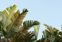 Vibrant Large Banana Tree Leaves Against A Bright Blue Sky