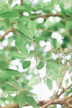 Newborn Magnolia Stellata Leaves On The Plant