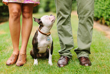 Boston Terrier Looking Up At Couple