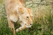 Lioness Movng Through Thornbush