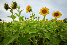Sunflowers Growing Very Tall I...