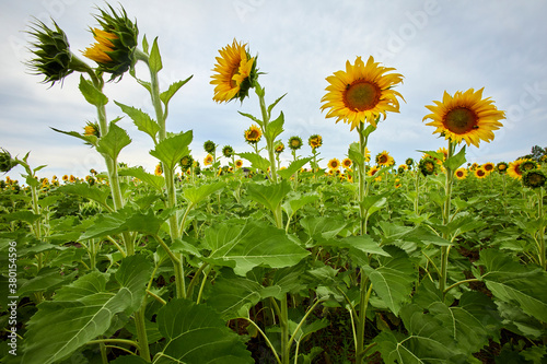 Fotografering Sunflowers growing very tall in a new field in summer in Minnesota near Minneapo