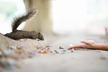 Woman Hands Feeding A Cute Squirrel In Forest