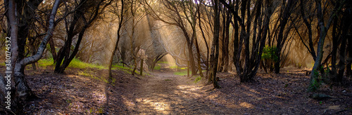 Fotografie, Obraz Australian bush track evening light filtering through a grove of Leptospermum la