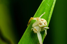 Macro Of A Spider On The Green...