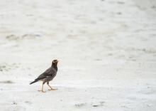 Mynah Bird On The Beach At Samet Island.