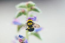Macro Catch Of Bombus Pollinating Echium Flower