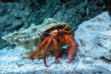 Closeup Of A Hermit Crab In The Aquarium