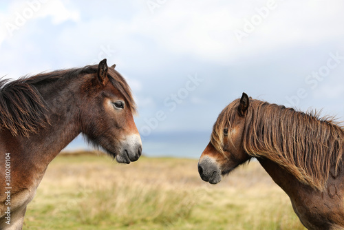 Fotografía View of two Exmoor ponies facing towards each other with just the heads visible with out of focus moorland and sky in the background