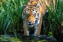 The Siberian Tiger,Panthera Ti...