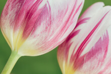 Macro Of Two Purple And White Tulips