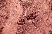 Pae Prints In Red Dirt