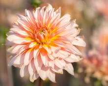 Soft Pink Dahlia In The Sunshine