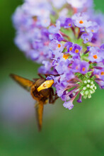 Extreme Close-up Of Bee Pollinating Buddleja Flowers