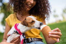 Partial View Of Young Woman Feeding Jack Russell Terrier Dog Ice Cream