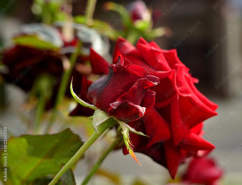 Róża - obrazy, fototapety, plakaty