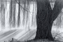 A Weeping Willow In Winter On ...