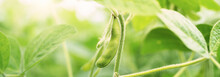 Green Soybean Field Closeup, S...
