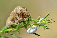 Exuvia Of Cicada (Lyristes Ple...