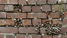 Large Colonies Of Garden Snail...