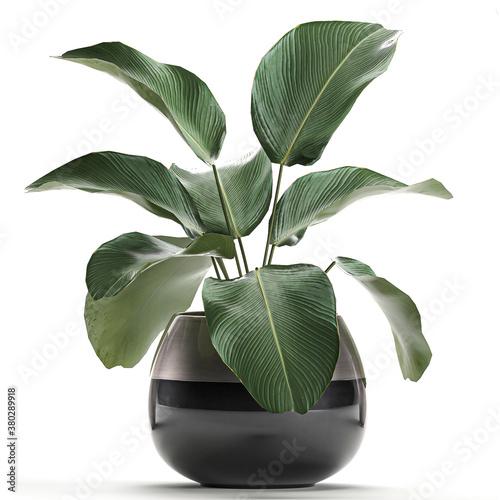 Fototapeta tropical plants Calathea lutea in a black pot on a white background obraz