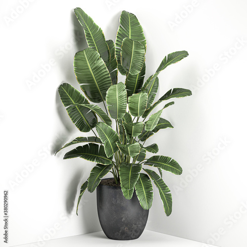 Fototapety, obrazy:  tropical plants banana palm in a pot on a white background