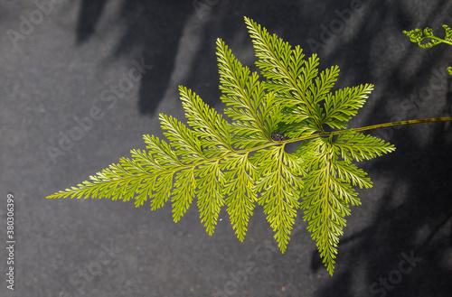 Fototapeta folha de samambaia verde e bem bonita que pode ser usada para fundos e texturas