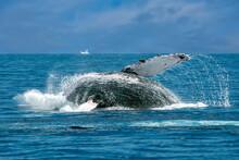 Humpback Whale Breaching In Ca...