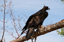 Golden Eagle Sits On A Wooden ...