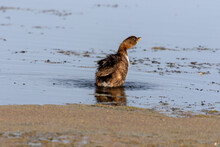 The Pied-billed Grebe On The Lake