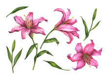 Watercolor Lilies, Hand Drawn Flowers Isolated On A White Background.