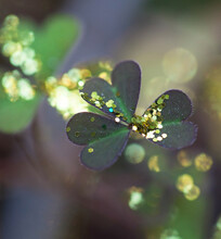 Glitter Sprinkled On Green Clover - Left By The Magic Fairy