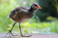 Young Common Moorhen Chick, Gallinula Chloropus In Side View Walking On Large Feet In Front Of Blurry Green Leaves In The Sun
