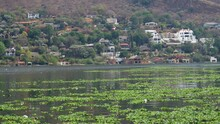 Water Hyacinths, Hartbeespoort Dam, North West, South Africa