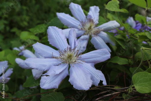 Fototapeta  Water droplets remain on the clematis petal after a summer rain obraz na płótnie