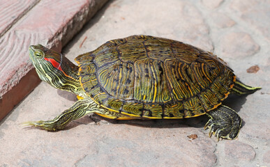 An image of Red Eared Turtle
