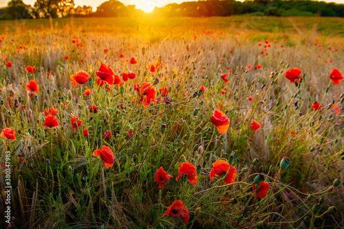 Fototapeta The Sun setting on a field of poppies in the countryside, Jutland, Denmark