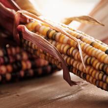 Studio Shot Of Indian Corn